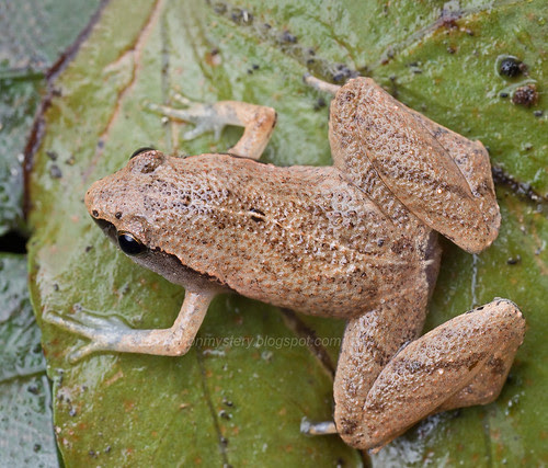 Dark sided chorus frog, <i>Microhyla heymonsi.</i>...IMG_9163 merged copy