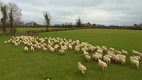 Farmer herds sheep with a drone in latest sign of robots taking over