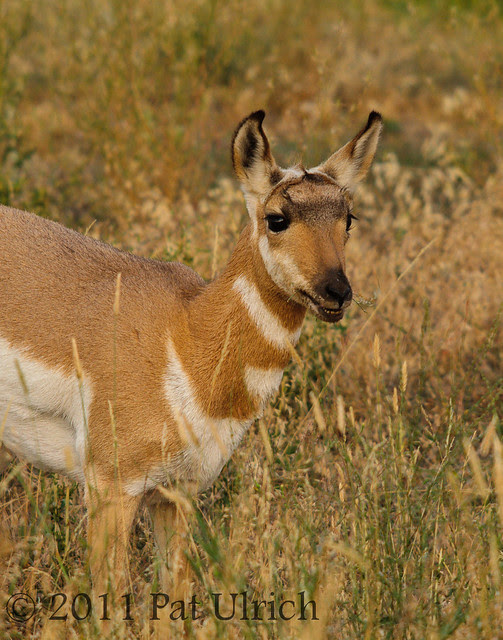 Smiling young pronghorn - Pat Ulrich Wildlife Photography