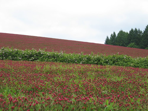 Red Clover and Rugosa on Cedar Canyon Rd