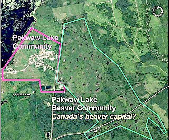 Beavers beavers everywhere google product forums pakwaw lake has about 630 residents of which 480 live on the reserve the beaver population is probably of similar size publicscrutiny Images