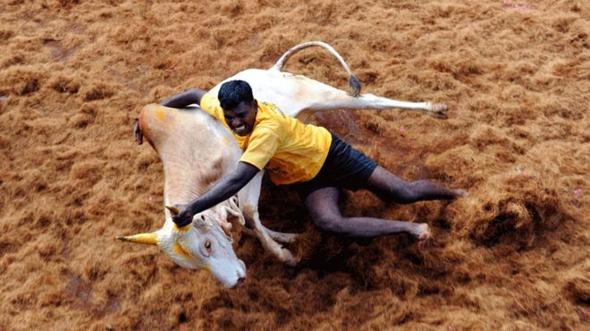 Jallikattu: India court says Tamil Nadu bullfighting ban remains