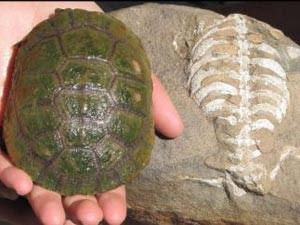 Comparação entre o casco de uma tartaruga moderna e o 'Eunotosaurus' (Foto: Luke Norton/Divulgação)