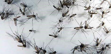 Mosquito Aedes aegypti transmite dengue, chicungunha e zika / Rodrigo Lôbo/Acervo JC Imagem