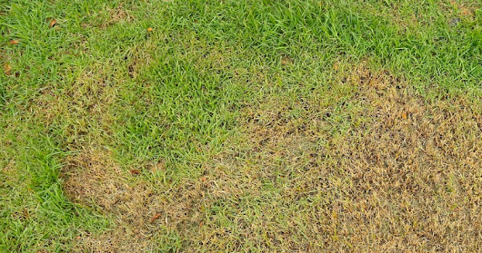 5 Common Causes of Brown Grass | Woodsman Tree Service