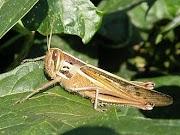 Ordo Orthoptera
