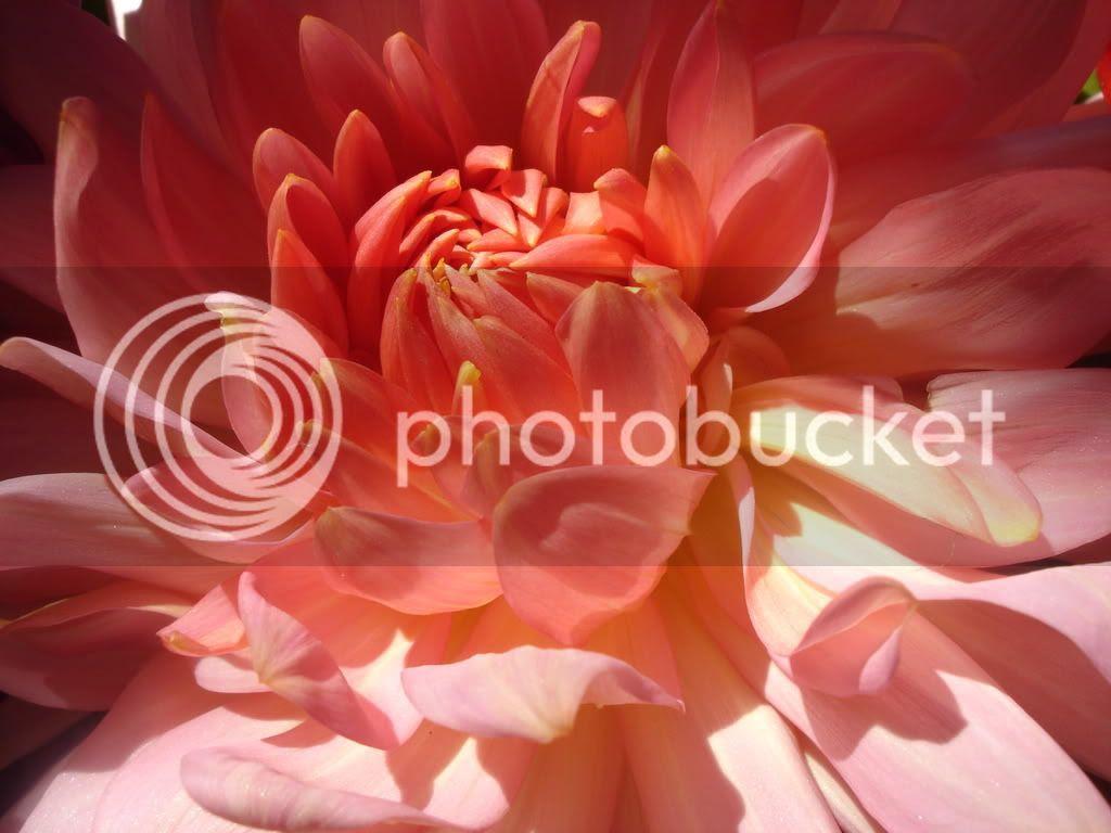 DSC06190.jpg sunlight on dahlia image by janmellon