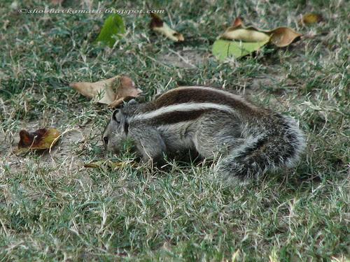 Squirrel -Akshay Patra 121