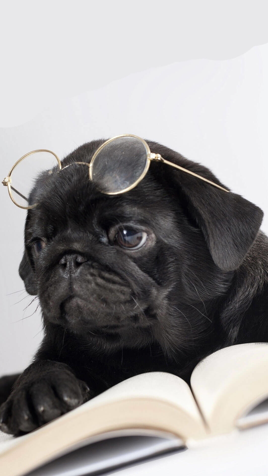 Funny Pug Pictures Wallpaper (75+ images)
