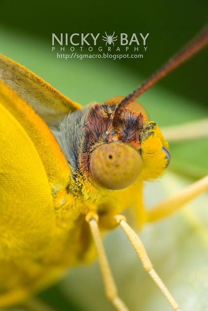 Orange Emigrant (Catopsilia scylla cornelia) - DSC_0121