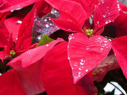 Poinsettias in the Rain