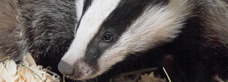 Badger cub © RSPCA photolibrary