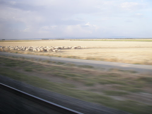 a day of traveling: a flock of sheep