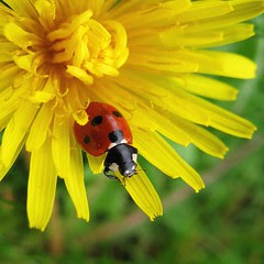 Ladybird, about to leave a dandelion