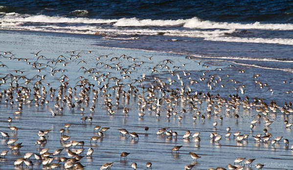 sanderlings at Parker River, flying, standing, running
