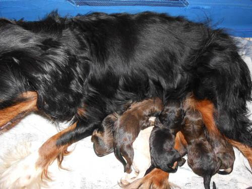 Almost one week old Cavapoo puppies! for Sale in Ellsworth ...