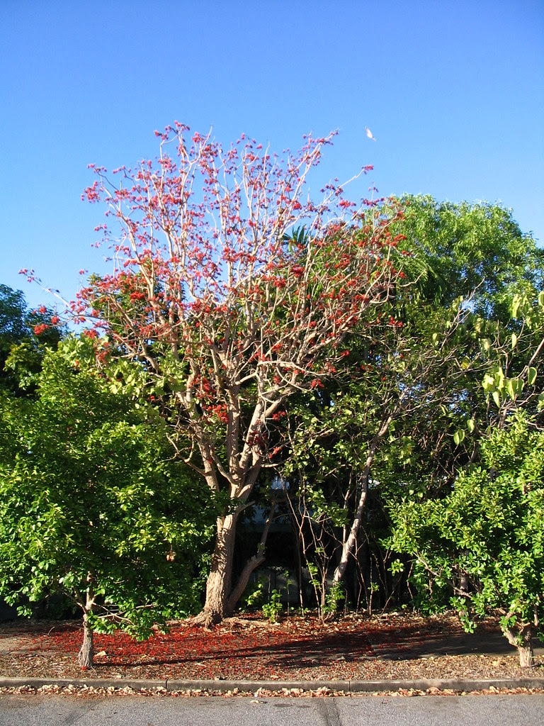 Dadap tree