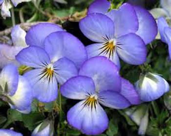 Beau Pansy Flower Information In Marathi Spot And Stripe