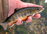 catchable trout - brook trout