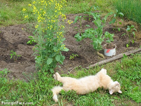 (28-29) Planting peppers and tomatoes under Jasper's watchful eye - FarmgirlFare.com