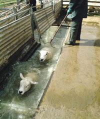 Sheep. Being dipped. In sheep dip