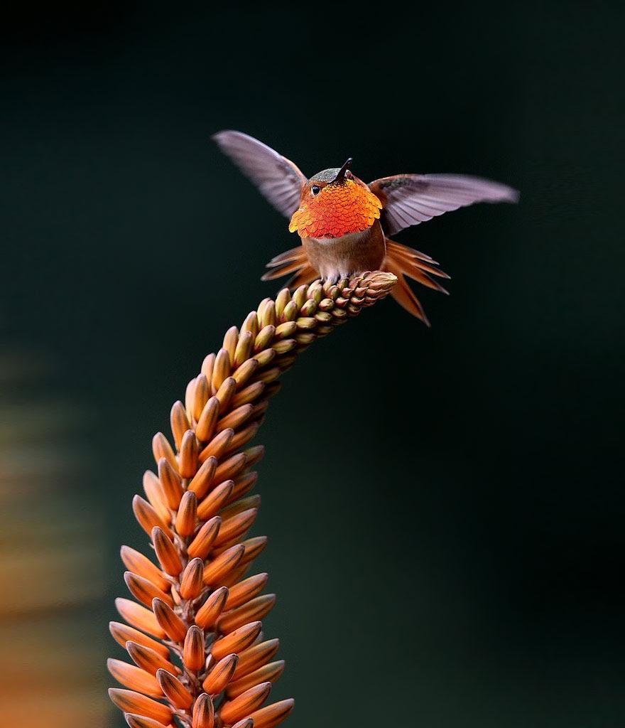 cute-beautiful-hummingbird-photography-15