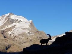 Stambecco nel Parco Nazionale Gran Paradiso - Foto di Andrea Andreis