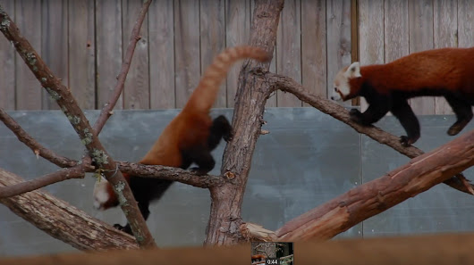 The great red panda escape: Search underway after one breaks out of Eureka zoo
