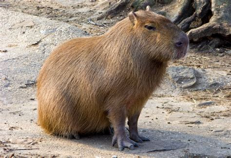 Fun Facts About Cute Animals ? Capybara Edition   Explore   Awesome Activities & Fun Facts   CBC