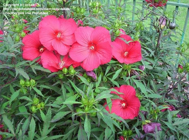 Click Here for hardy hibiscus