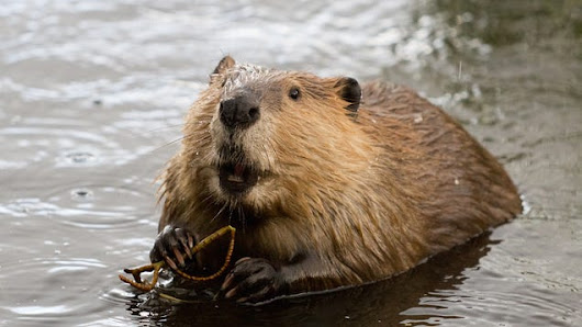 The Plan to Make California Wet By Bringing Back Beavers