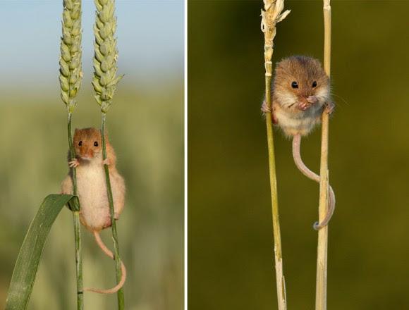 Resultado de imagen de ratón de campo en casa