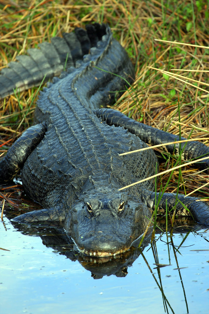 Alligator-4.JPG