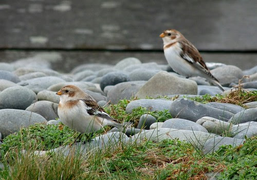 23676 - Snow Buntings, Ynyslas