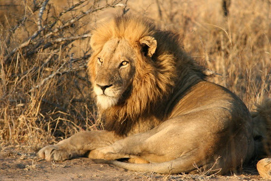 The King Has Spoken: nDzuti lions flee from their kill - Sun Safaris