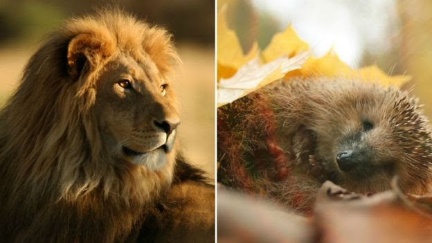 Lion and hedgehog
