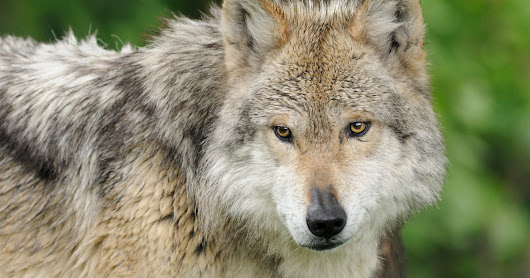 Restoring Wolves Nationwide