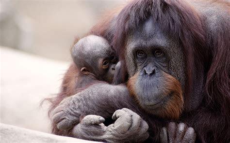 orangutan hd wallpaper background image  id