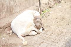 Sheep Joke by firoze shakir photographerno1