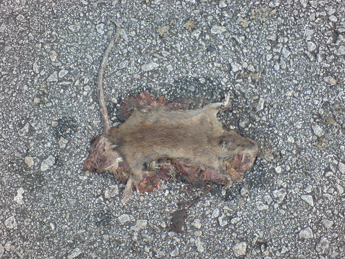 Rat roadkill - 12 hours later