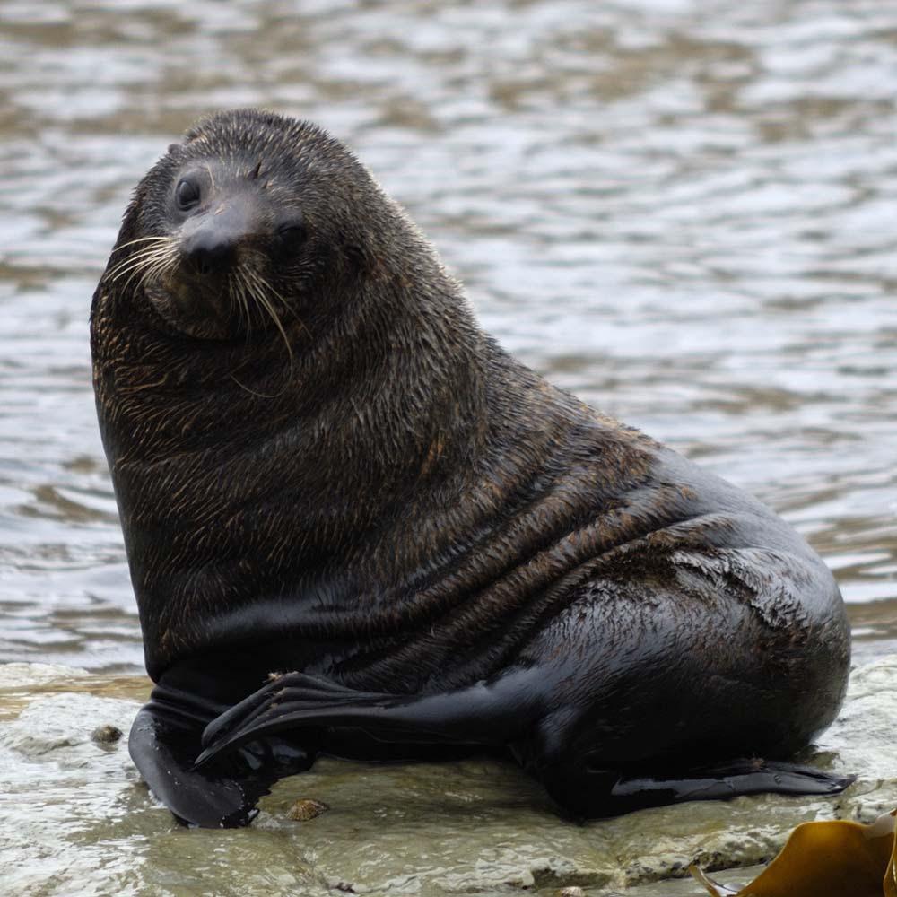 Neuseeland-Pelzrobbe Foto & Bild | tiere, wildlife ...