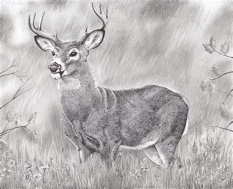 whitetail deer drawing  samantha howell