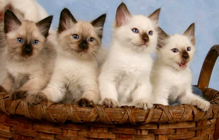 Balinese Cat For Sale Mn Bali Gates Of Heaven