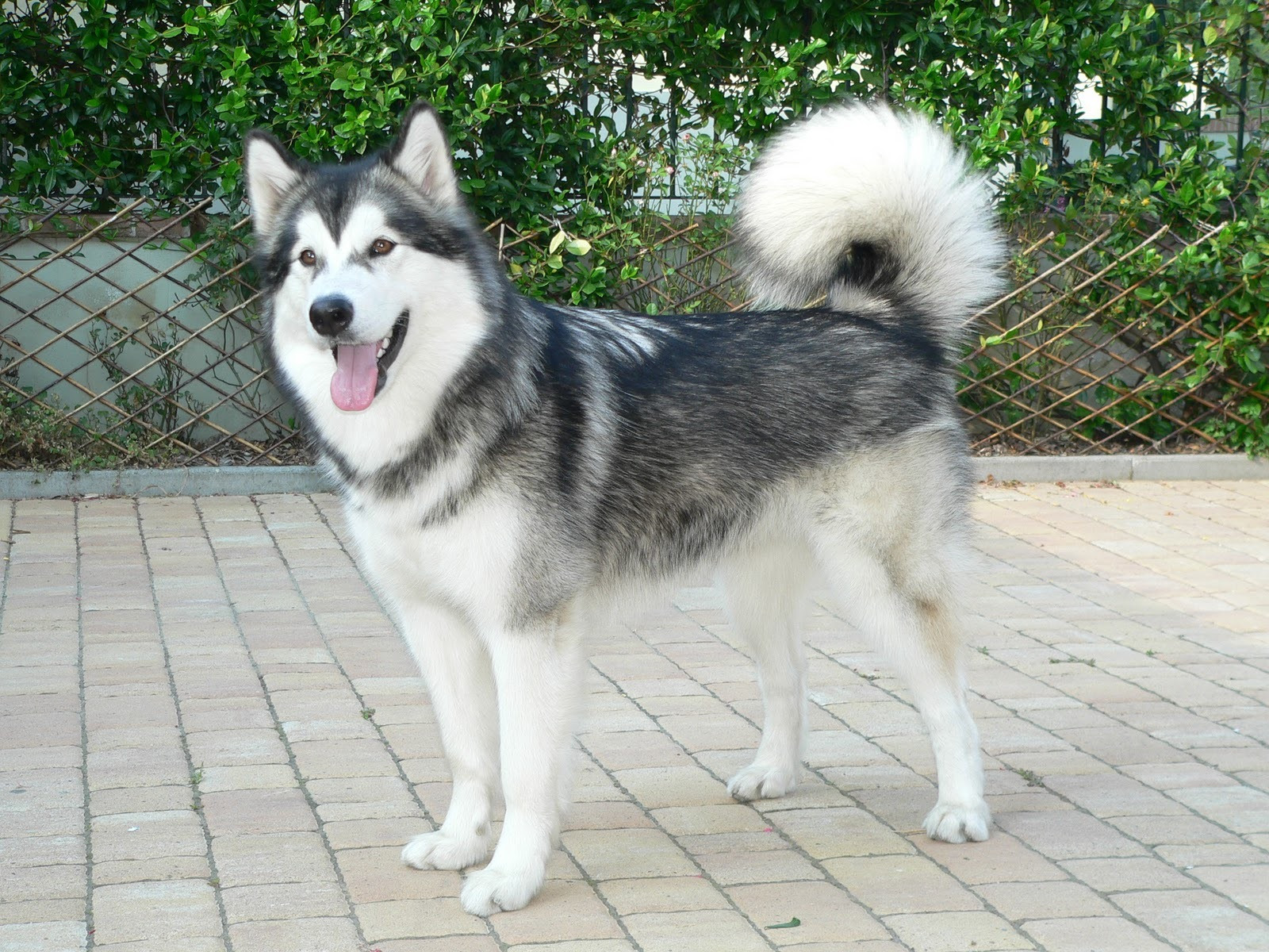 How To Take Care of Alaskan Malamute  Pets World