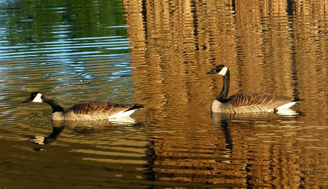 ripple, feather &  honk