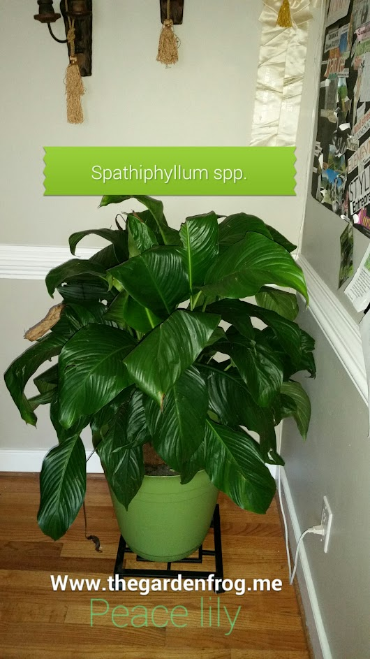 A great choice for a house plant- the Peace Lily