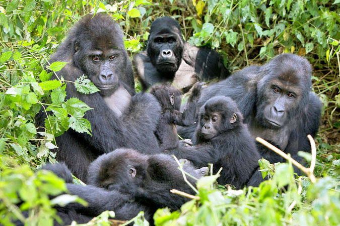 A group of Gorillas on our 2 Days Bwindi gorilla trekking tour