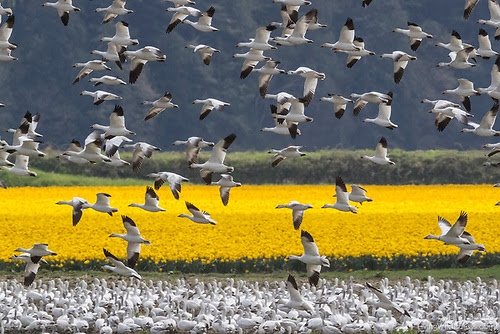 Snow Geese and Daffodils, La Conner, Washington