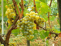 Chardonnay grapes in Moldova