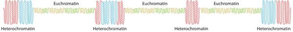 La estructura de la cromatina en interfase